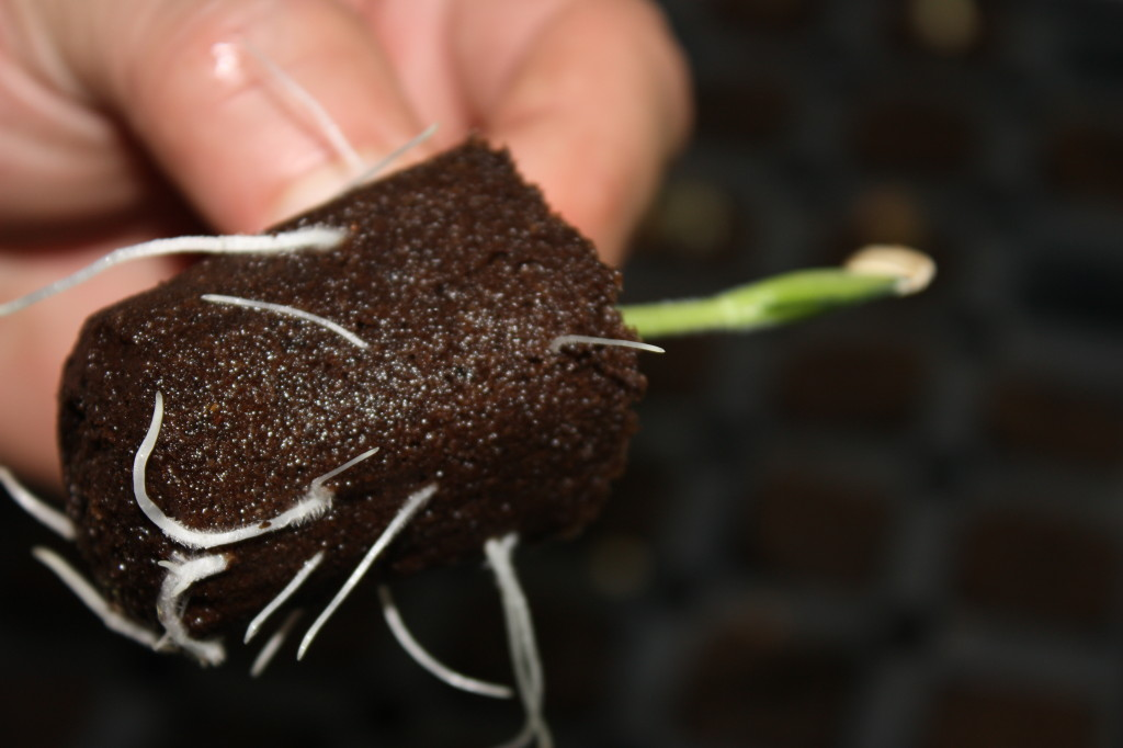 Squash roots in Rapid Rooter cube.