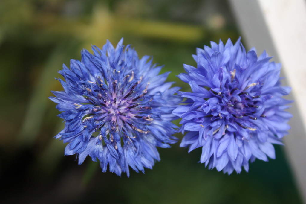 Also known as a cornflower.